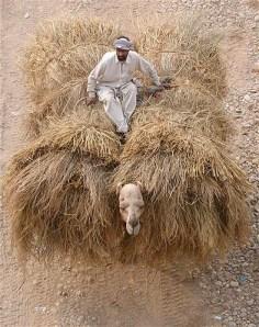 paja.camello