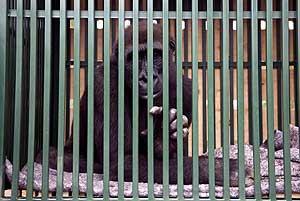 gorila.jaula